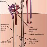 尿細管と細尿管の違い