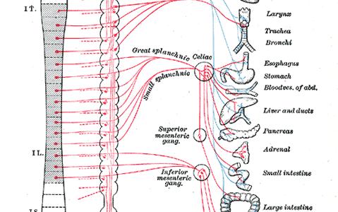 自律神経系-交感神経・副交感神経-