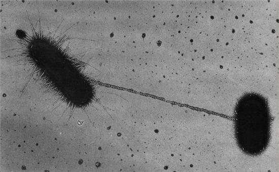 大腸菌接合