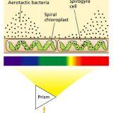 エンゲルマンの実験「光合成に利用される光の波長の解明」