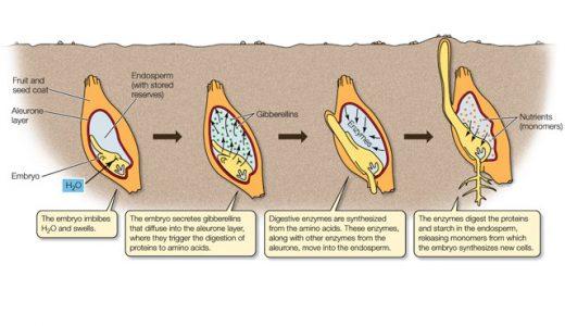 ジベレリン-休眠打破・伸長成長-