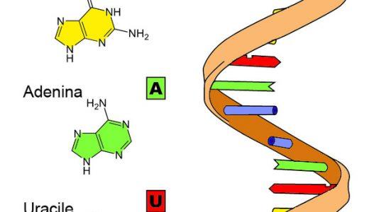 真核生物のタンパク質の合成-転写・スプライシング・翻訳-