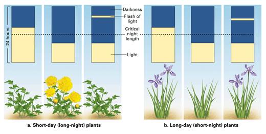 花芽形成と光