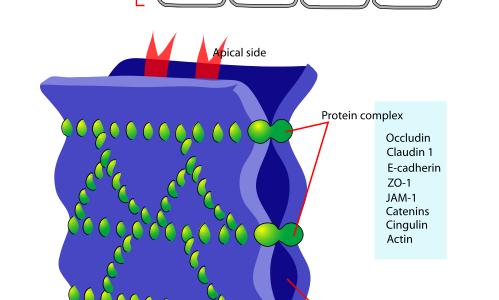 細胞内のタンパク質-細胞接着-
