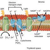 光合成-チラコイド膜での反応-