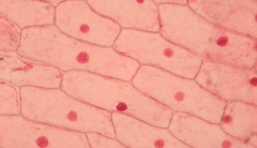 植物細胞・動物細胞の観察
