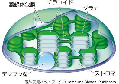 葉緑体とは-光合成色素と吸収する光・エンゲルマンの実験-