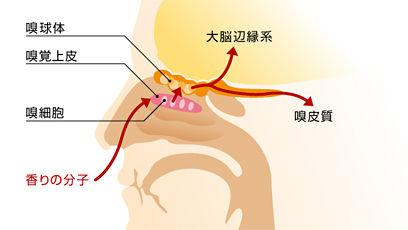 鼻と舌の構造と働き
