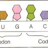 遺伝子の発現:翻訳と遺伝暗号表の解明