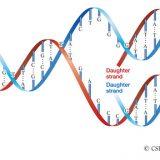 DNAの複製の仕組み-メセルセンとスタールの実験-