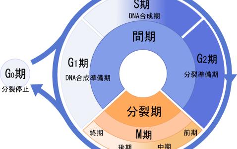 体細胞分裂-その過程とDNA量の変化-