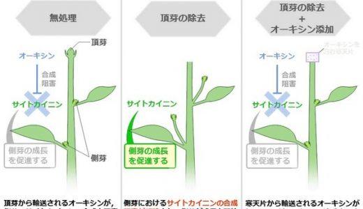 芽の成長-頂芽優勢-