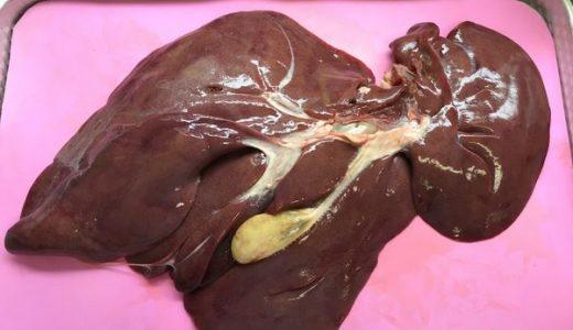 ブタの肝臓の観察