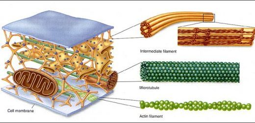 細胞骨格の種類