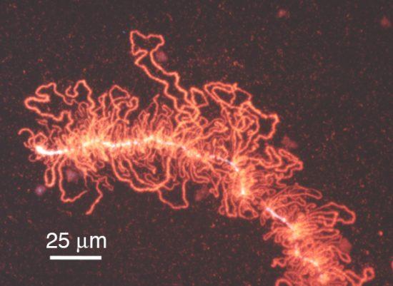 ランプブラシ染色体