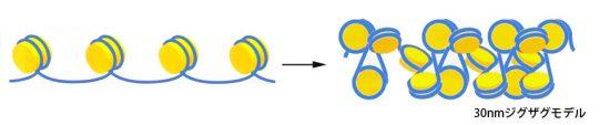 クロマチン構造