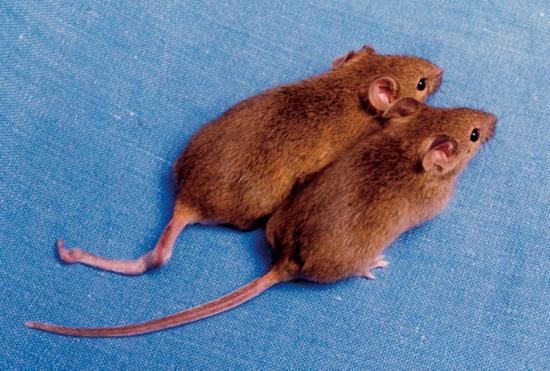 クローンマウス