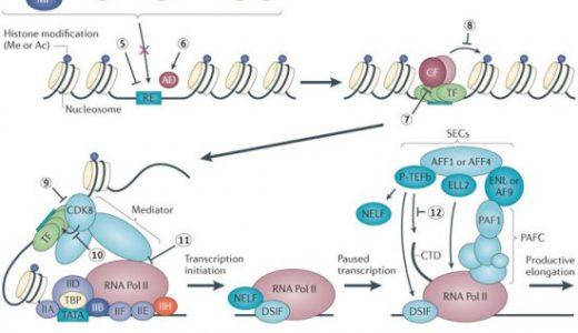 遺伝子発現の調節-転写複合体-