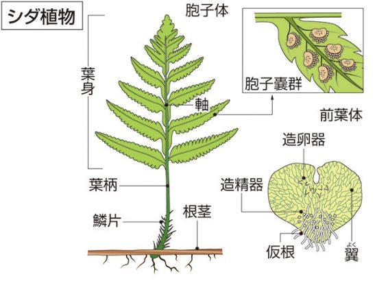 特徴 コケ 植物