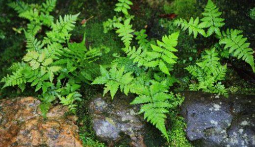 コケ植物とシダ植物の違い