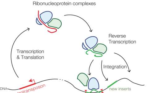ヒトゲノム:イントロン、エキソン、その他配列の割合