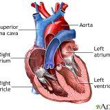 体液の循環-血液とリンパ液の循環-