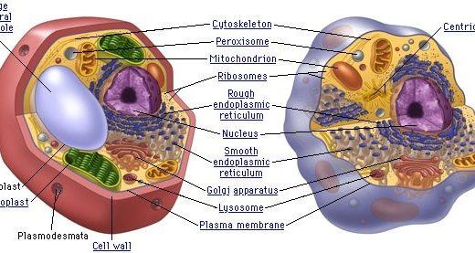 動物細胞と植物細胞の違い
