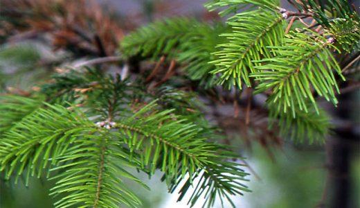 なぜ常緑樹の葉は寒さに強いの?