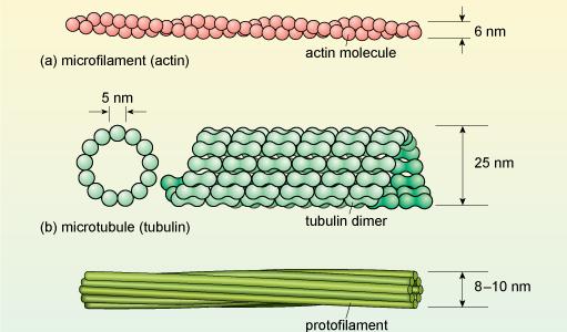 中間径フィラメントの構造・役割