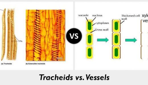 仮道管と道管の共通点と違い-構造・機能・植物種-