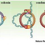 細胞分裂:分裂期(M期)の流れを学ぼう