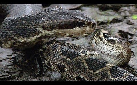 ヘビvsヘビの死闘!ヘビがヘビを食べるという奇怪な場面に出くわしてしまった