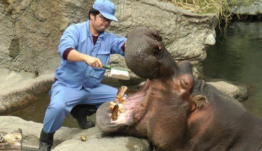 カバが気持ちよさそうに歯磨きしてもらっている映像。飼育下のカバは何故歯磨きをしなければならないのか?