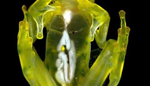 体が透けすぎて内臓が丸見えになっているカエル「グラスフロッグ」