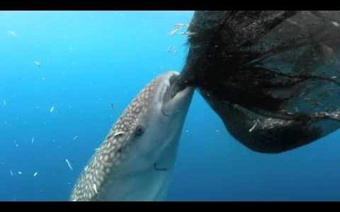 食べたくても食べられない!網越しの魚に挑戦し続けるジンベエザメがかわいい