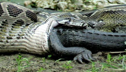 世界で1億回再生された巨大ニシキヘビがそこそこの大きさのアメリカアリゲーターを丸飲みする映像