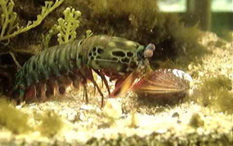 シャコパンチの威力が予想以上にすごい!貝殻をも破壊する脅威のパワー
