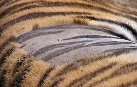 【Q&A】トラの地肌は何色?トラ柄?
