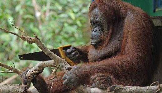 のこぎりを使って木を切る「森の人」ことオラウータンの姿がシュール