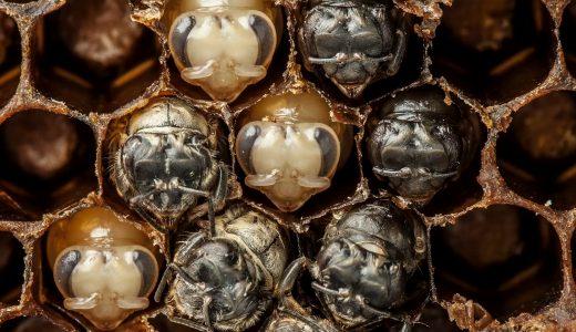 ハチの巣で卵が成虫になるまでの過程がまるで工場生産みたい!!