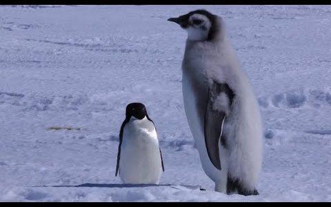 小さなアデリーペンギンが皇帝ペンギンのヒナに喧嘩を売るもあっさり勝ってしまう