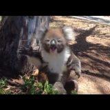 一本の木を巡って勝負に負けたコアラが哀愁漂う声で泣き叫ぶ!