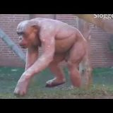 脱毛症のために毛がないチンパンジーがムキムキでかっこいい!