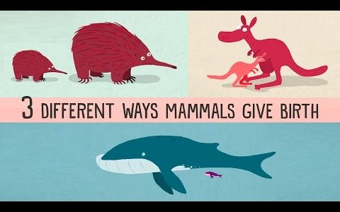 哺乳類に含まれる有胎盤類・有袋類・単孔類って何が違うの?超わかりやすく説明する動画