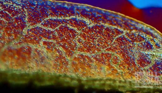オタマジャクシの尾の毛細血管を流れる血液の映像が美しすぎる