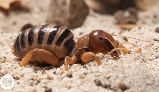 大型カマドーマ「Jerusalem cricket」の雄雌が音によって引き寄せられてからの交尾がすごい