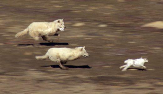 ウサギvsオオカミの命を賭けた追いかけっこが意外とハラハラドキドキする