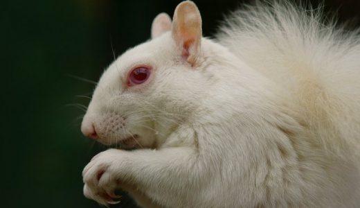【Q&A】アルビノと白化種(白変種)の違いとは?