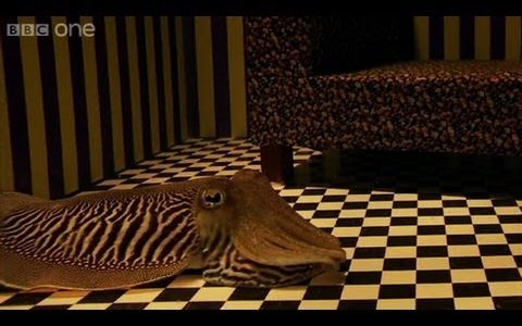 イカの擬態能力の限界は??ミニチュアの家の中で隠れることができるのか??