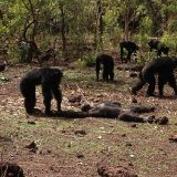 【閲覧注意】年老いたリーダーのチンパンジーが同グループ内の若者に殺される。チンパンジーの同種殺しは激しすぎる